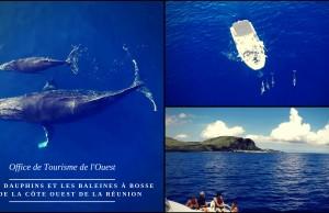 Dauphins et les baleines à bosse sur la côte Ouest de La Réunion