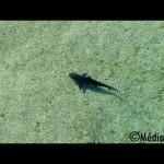 Vidéo un requin bouledogue juvénile dans le lagon de l'ermitage