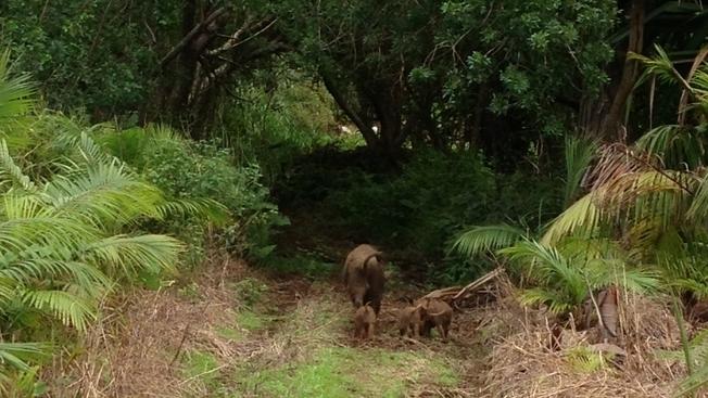 © Willy Desprairies Une truie et ses quatre petits en liberté sur l'île de La Réunion.
