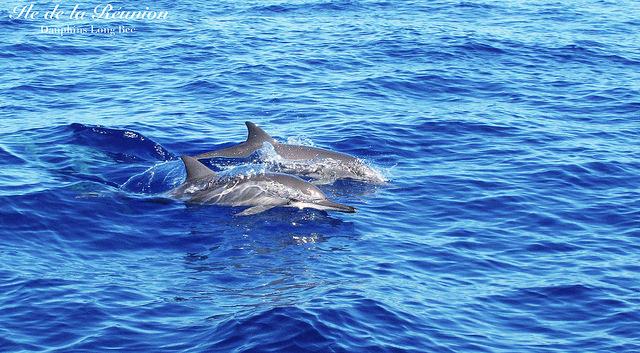 dauphins long bec
